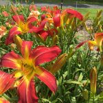 Thumpers Daylily Farm